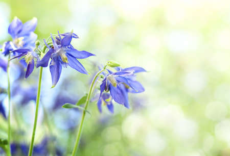 aquilegia: blue flowers in the garden and a blurred background Stock Photo