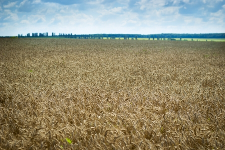wheatfield: Wheatfield with golden ears of ripening wheat almost ready to harvest as a foodstuff or as silage to be used as a winter feed for livestock
