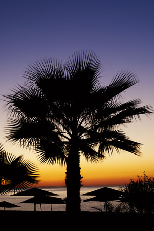 palm trees silhouette: Beautiful palm tree silhouetted against a colourful orange tropical sunset symbolic of tranquillity, summer vacations and travel