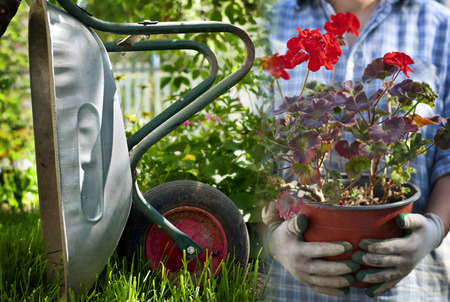 galvanised: Galvanised metal wheelbarrow in the garden upended against a tree trunk alongside flowering red geraniums in a flowerpot conceptual of working in the garden, landscaping and cultivation of plants