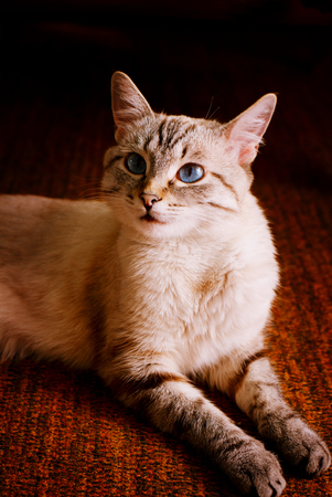 observant: Cute young kitten with large blue eyes lying on the floor looking back over its shoulder at the camera