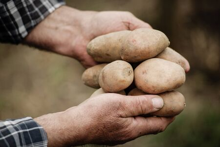 monoculture: Close-up of male hands holding a potato on a background of the vegetable garden