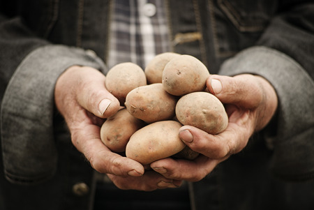 Close-up of male hands holding a potato on a background of the vegetable garden