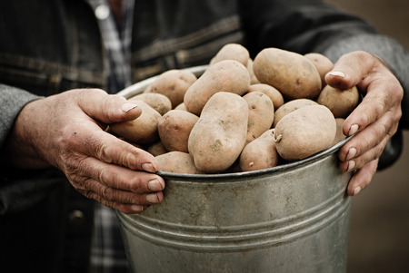 potato field: Closeup of a bucket of potatoes in the hands of the farmer Stock Photo