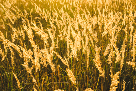 Autumn yellow grass in the rays of the evening sun