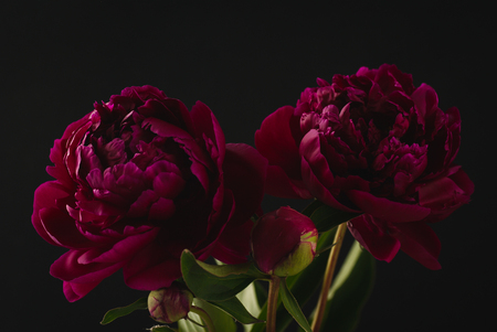 Large purple peony with green leaves on a dark background