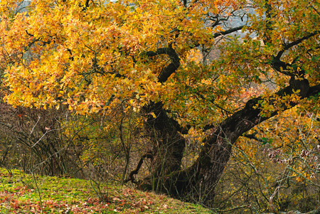Autumn forest. The leaves in the trees turned yellow. Stock Photo