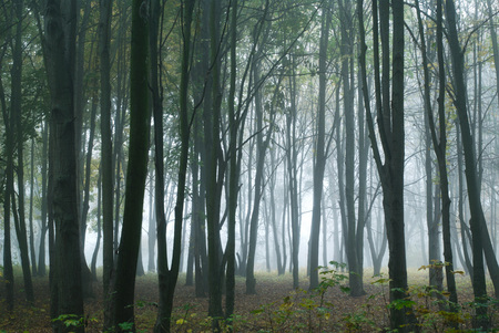 Thick fog in the autumn forest.Foggy weather.