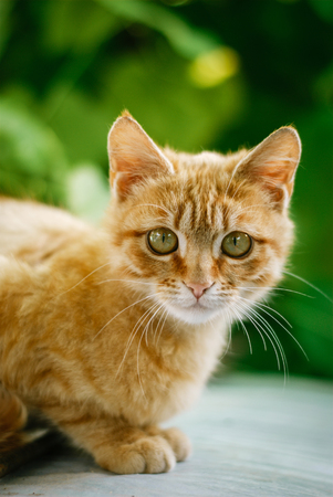 Red-haired kitten sitting against a background of green foliage