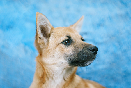 Little red-haired dog sits on a blue background Stock Photo