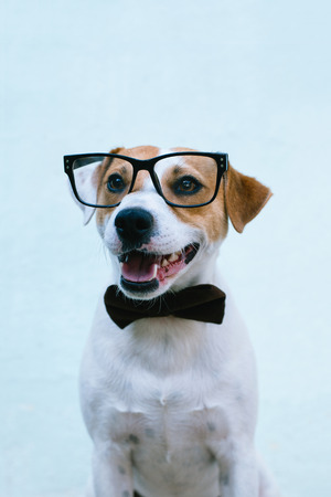 dog russell terrier in a bow tie and glasses