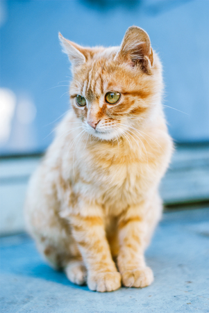 Red haired kitten sitting on a blue background