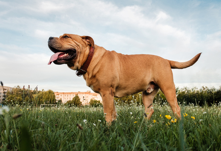 A brown dog corso corso stands in a field on a green grass Stock Photo