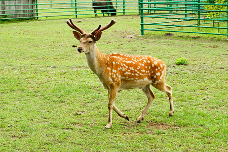 Sika deer on the background of green grass. Stock Photo