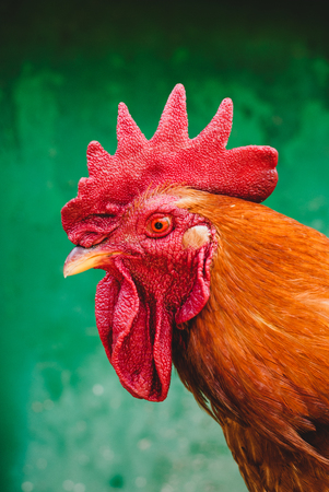 Portrait of a rooster with a red comb on a green background Stock Photo