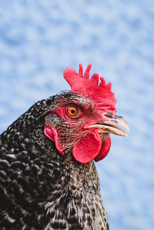 Portrait of a chicken with gray feathers close-up