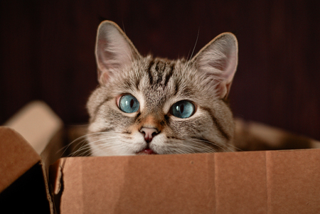 A beautiful gray cat with blue eyes is sitting in a cardboard box