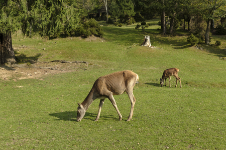 Two young deers grazing in wild nature, viewed in full lenth from the side