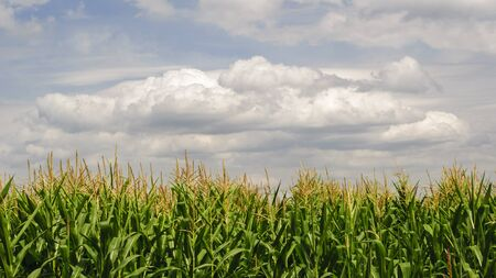 Plantation of corn against cloudy sky on hot summer day