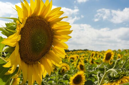 Beautiful yellow sunflower in the field against the blue sky with white clouds