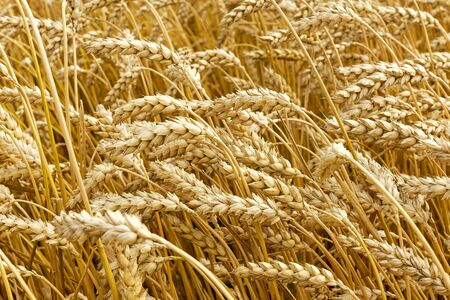 Closeup of golden ears of wheat waving in wind on hot day