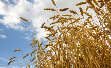 From below golden wheat waving in wind against blue sky on hot summer day