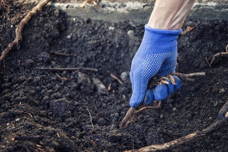 Gloved hand of a man pulling up a root in freshly dug over soil in a gardening and horticulture concept