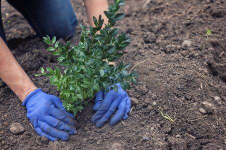 Ogrodnik sadzący krzew w ogrodzie w świeżo wykopanej glebie w zbliżeniu na roślinę i dłonie w rękawiczkach