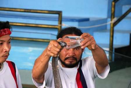 mortally: This photho was taken in Thailand on January, 2011.Dangerous trick on extraction of poison from a venomous snake.