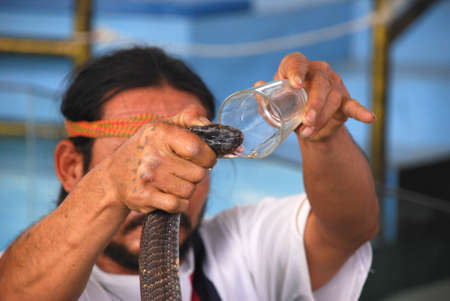 mortally: This photho was taken in Thailand on January, 2011.Dangerous show on extraction of poison from a venomous snake.