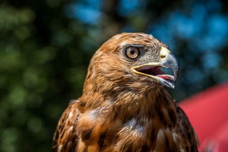 chrysaetos: young EAGLE