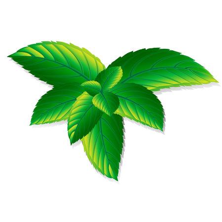 Vector fresh mint leaves on a white background. Menthol healthy aroma. Herbal nature plant. Spearmint green leafs.