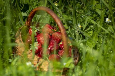 Sweet Strawberry Basket on Green Grass. Delicious Organic Summer Berries. Healthy Fresh Red Color Strawberry in Wooden Punnet. Fruity Vegetarian Plant on Colorful Meadow Grass.