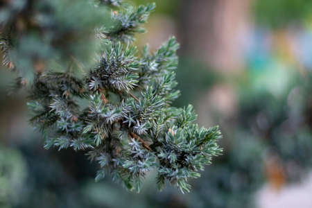 Christmas spruce tree background. Winter holiday concept. Evergreen coniferous wood foliage texture. Green pine branch with blurred bokeh. Fir forest decoration with natural needle plant macro
