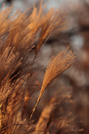 Pampas grass. Nature beige reed, cortaderia plant. Dry selloana reeds, autumn landscape. Golden yellow pampas closeup, neutral texture. Natural outdoor scene. Botanical decorative beauty