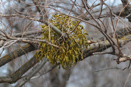 Mistletoe, viscum album with berry gorwing on branch. Natural wood parasite, european mistletoe, evergreen traditional medicine botany 版權商用圖片