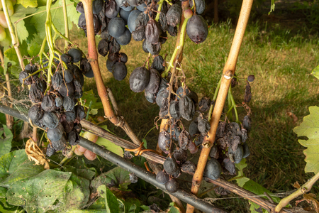 Grape disease close-up damage to rot and parasites. The concept of protecting the industrial plant of grapes