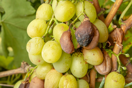 Rot of grapes close-up. Protection of the vineyard garden from diseases