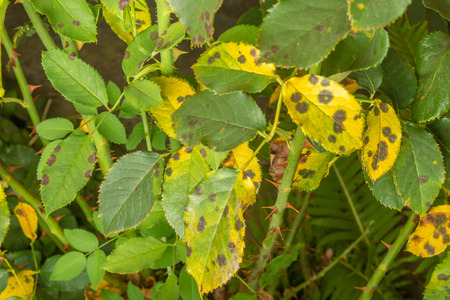Disease of leaves and branches of roses close-up of damage to rot and parasites. The concept of protecting the rosary
