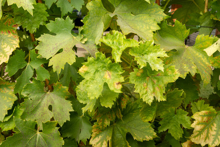 Disease of leaves and vines of a grape close up of defeat of rot and parasites. The concept of protecting the industrial plant of grapes