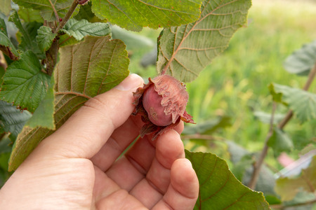 Hazelnut fruits in the process of ripening close-up in the hand of man. Gardening and growing a nuts Imagens