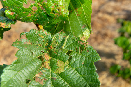 Diseases and pests of nuts and leaves of hazelnut bushes close-up. concept of chemical garden protection. 版權商用圖片