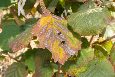 Diseases and pests of nuts and leaves of hazelnut bushes close-up. concept of chemical garden protection. Stock Photo