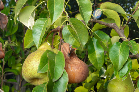 pear tree affected by fungal disease. Close-up of diseased yellow rotten а fruit Stock Photo