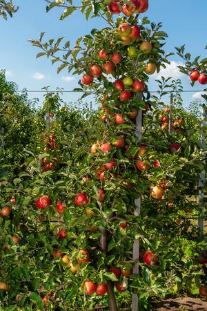 Apfelbaum mit Früchten hautnah in den Sonnenstrahlen. Herbst ernten reife Ernte