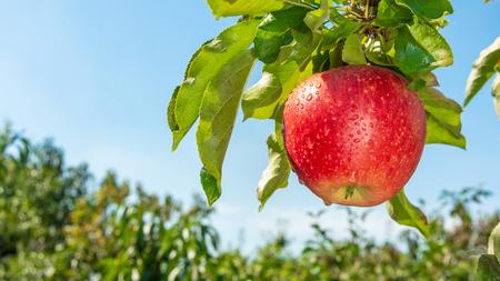 branche de gros plan de pommes rouges mûres. concept de jardinage biologique réussi