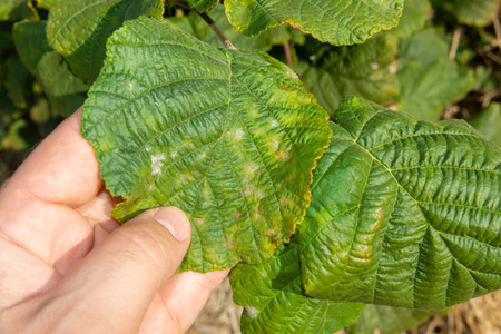 damaged leaves of hazelnut by weevil larvae close-up in human hand. Hazelnut garden a pests