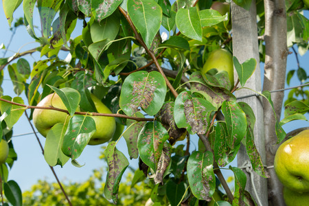 pear tree disease on the leaves and bark. concept of chemical garden protection Stock Photo