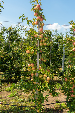 industrial apple orchard. The apple tree is tied up on trellis with ripe fruits close up Stockfoto - 123248555
