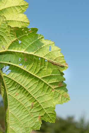 Hazelnut leaf damaged by a pest closeup in mans hand. Industrial nut cultivation and beetle protection